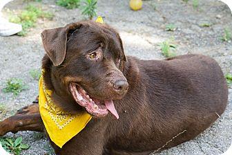 Rottweiler/Labrador Retriever Mix Dog for adoption in Nashville, Tennessee - Abe