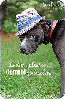 American Staffordshire Terrier Mix Dog for adoption in Dublin, Ohio - Cyrus