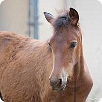 Adopt A Pet :: Brooks - El Dorado Hills, CA