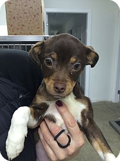 Jack Russell Terrier/Chihuahua Mix Puppy for adoption in Spokane, Washington - Violet