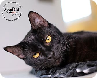 Domestic Shorthair Cat for adoption in Lyons, New York - Ernie