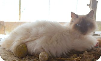 Himalayan Cat for adoption in San Pablo, California - RUDY