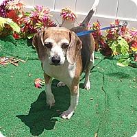 Adopt A Pet :: Siri - Adorable Beagle Girl! - Quentin, PA