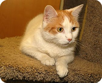 Domestic Shorthair Cat for adoption in Milford, Massachusetts - Flora