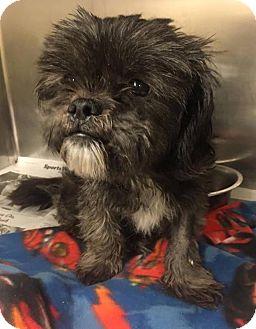 Shih Tzu/Affenpinscher Mix Dog for adoption in Elgin, Illinois - *Sophie