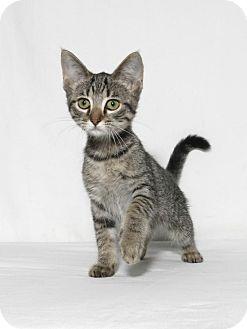 Domestic Shorthair Kitten for adoption in Lufkin, Texas - Ginger