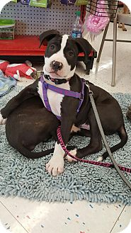Pit Bull Terrier Mix Puppy for adoption in Orland Park, Illinois - STITCH