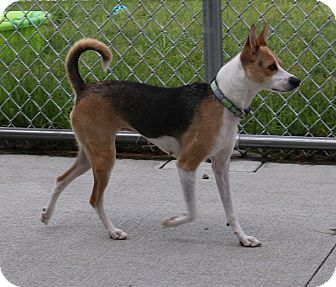Rat Terrier Mix Dog for adoption in Council Bluffs, Iowa - Ginger