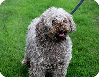 Labradoodle Dog for adoption in Liberty Center, Ohio - Stella Pending adoption