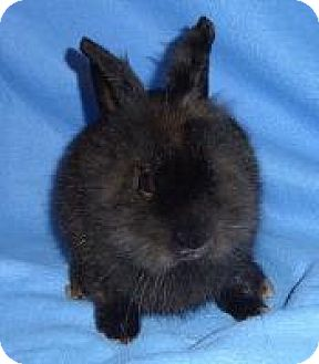 Lionhead Mix for adoption in Woburn, Massachusetts - Pixie