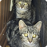 Domestic Shorthair Kitten for adoption in Montreal, Quebec - Nana