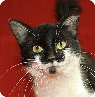 Domestic Mediumhair Cat for adoption in Jackson, Michigan - Iris
