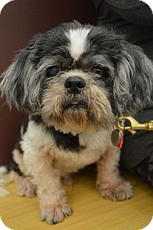Shih Tzu Dog for adoption in Toledo, Ohio - Dunder