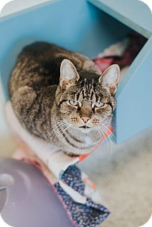 Domestic Shorthair Cat for adoption in Indianapolis, Indiana - Dani
