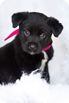 Labrador Retriever/Retriever (Unknown Type) Mix Puppy for adoption in Saratoga Springs, New York - Raven 💜 ADOPTED!