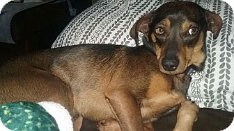Miniature Pinscher Mix Dog for adoption in Manhattan, Kansas - Max