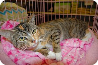 Calico Cat for adoption in Whittier, California - Iliana