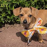 Adopt A Pet :: Daisy - San Juan Capistrano, CA