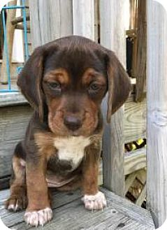 Beagle Mix Puppy for adoption in Marlton, New Jersey - Ginger