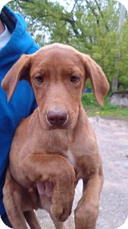 Labrador Retriever/Weimaraner Mix Puppy for adoption in Kendall, New York - George