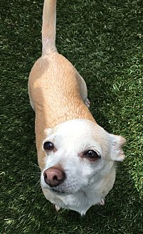 Chihuahua Mix Dog for adoption in Chula Vista, California - Gigi