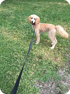 Labradoodle Dog for adoption in China, Michigan - Mosey