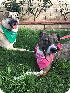 Cattle Dog/Australian Shepherd Mix Dog for adoption in Newport Beach, California - Oli