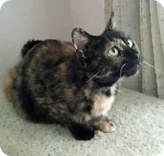 Domestic Shorthair Cat for adoption in Salem, Oregon - Shelli