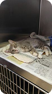 Domestic Shorthair Kitten for adoption in Colonial Heights, Virginia - Nelson