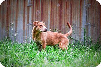 Labrador Retriever Mix Dog for adoption in Virginia Beach, Virginia - Redd
