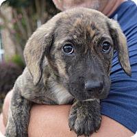 Adopt A Pet :: NICOLA - East Windsor, CT