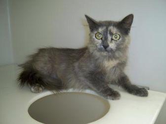 Domestic Mediumhair/Domestic Shorthair Mix Cat for adoption in Cortez, Colorado - 35988993
