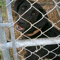 Labrador Retriever Mix Dog for adoption in Opelousas, Louisiana - Myra