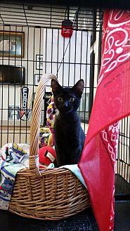 Domestic Shorthair Kitten for adoption in Alpharetta, Georgia - (KITTEN) Barnaby