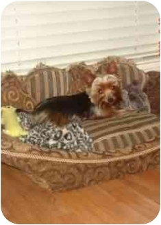 Yorkie, Yorkshire Terrier Puppy for adoption in Statewide and National, Texas - Logan-LA