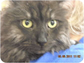 Maine Coon Cat for adoption in Riverside, Rhode Island - Dusty