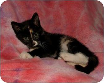 Domestic Shorthair Kitten for adoption in Norwich, New York - Iris