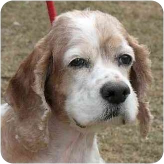 Cocker Spaniel Mix Dog for adoption in Teterboro, New Jersey - Biscuit