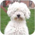 Poodle (Standard) Mix Dog for adoption in Wheaton, Illinois - Tigger