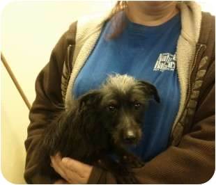 Chinese Crested Mix Dog for adoption in Reno, Nevada - Jive