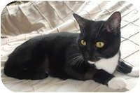 Domestic Shorthair Cat for adoption in Tampa, Florida - Chloe