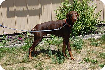 Doberman Pinscher Dog for adoption in North Judson, Indiana - Luke