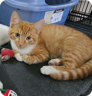 Domestic Shorthair Kitten for adoption in Speonk, New York - Oskar