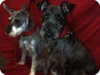 Schnauzer (Miniature) Dog for adoption in Hazard, Kentucky - Saddie