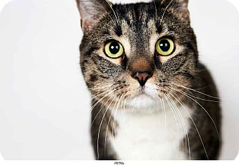 Domestic Shorthair Cat for adoption in New York, New York - Petra