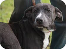 Labrador Retriever Mix Dog for adoption in Spring Valley, New York - Sage(200$ Happy Homing-days fe