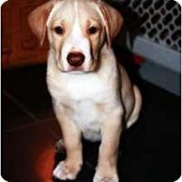 Adopt A Pet :: Boy Puppies... - Hagerstown, MD