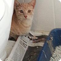 Adopt A Pet :: Georgie - Cranford/Rartian, NJ