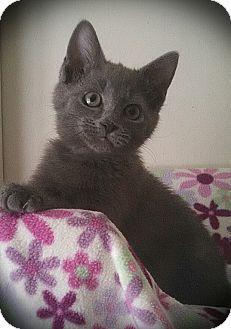 Domestic Shorthair Kitten for adoption in Richmond, Virginia - Silly Jilly