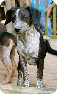 Cattle Dog Mix Dog for adoption in Hagerstown, Maryland - Ariel